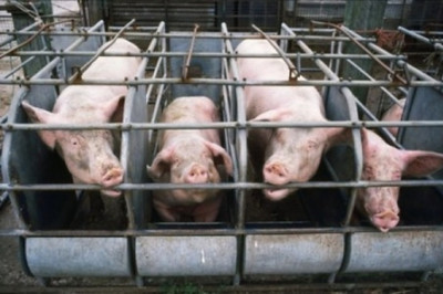 pigs_gestation_crates-454x301.jpg