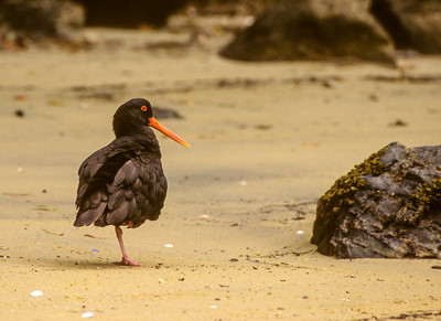 Oystercatchers & Ibisbill