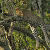 African Leopard (Panthera pardus pardus) resting on the branch of a tree in Masai Mara in Kenya, Africa