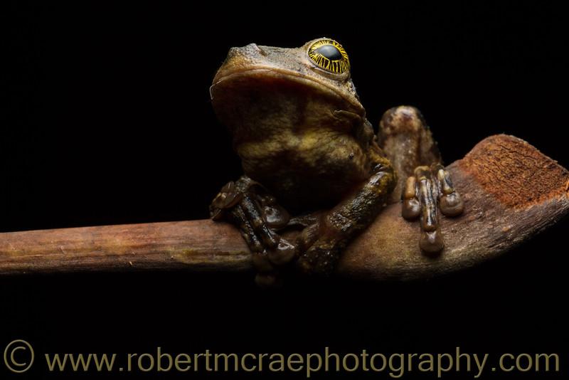 Spring Rainfrog