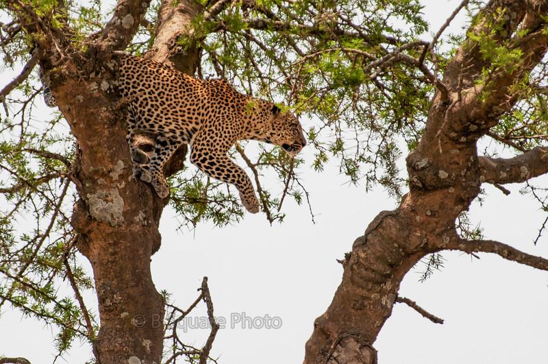 Serengeti Leopards