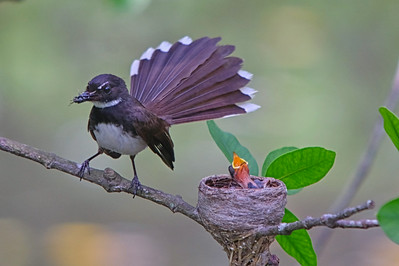 Pied Fantail Family