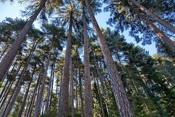 Les pins laricios
