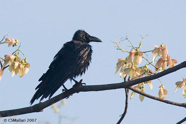 Crows - Family: Corvidae