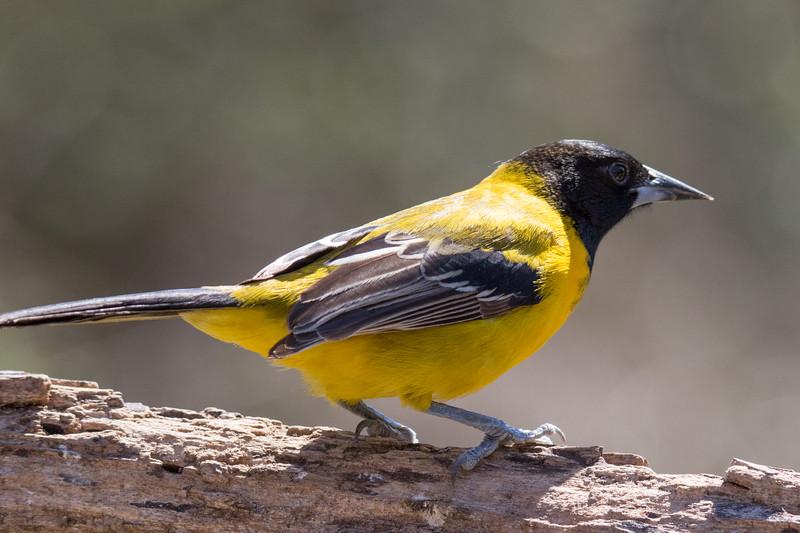 Audubon's Oriole So. Texas 2020-2.jpg