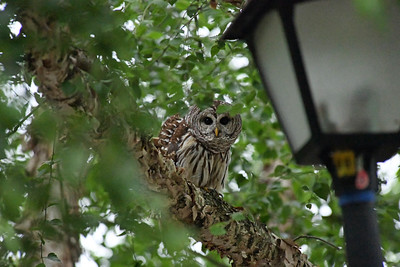 Neighborhood Owl