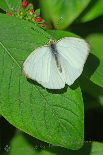 Great Southern White on Leaf.jpg