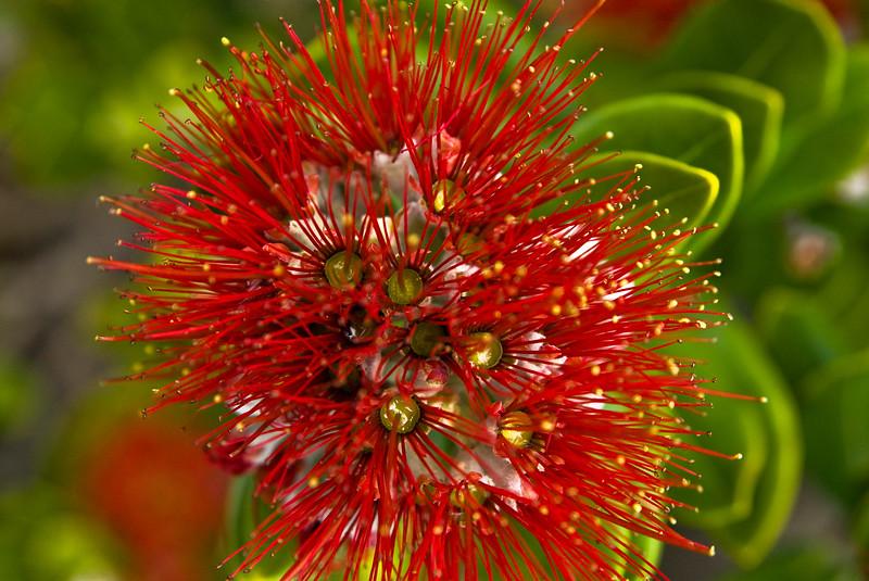Close up of single crimson bloom of a New Zealand Christmas tree or Pohutakawa. Auckland waterfront New Zealand