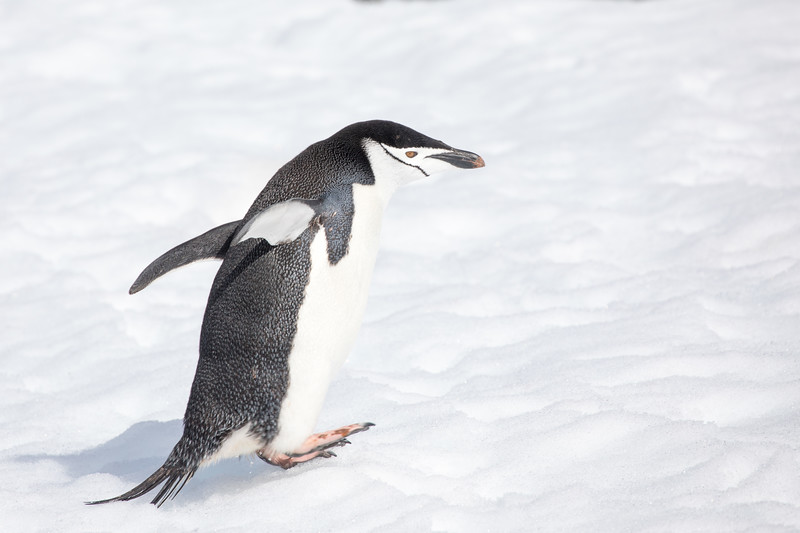 Chinstrap Penguin Getting Air-8822.jpg
