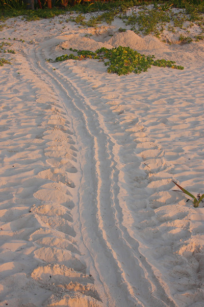 We saw a huge Sea Turtle lay her eggs on the beach. These are her tracks the next morning.