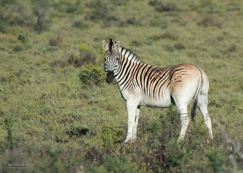 Plains Zebra, Karoo NP, WC, SA, Jan 2014-1.jpg
