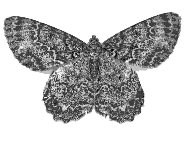 Moth (Impresionistic)