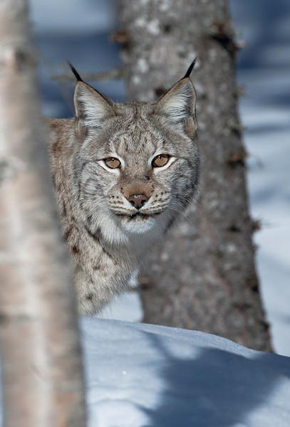 Lynx 5 sharpened.jpg
