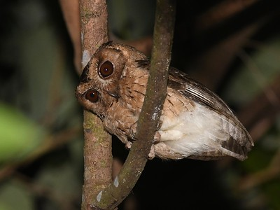 Indian Scops-Owl (Otus bakkamoena)