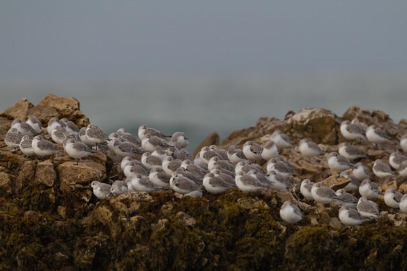Sanderlings at Pescadero Beach - Pescadero, CA, USA