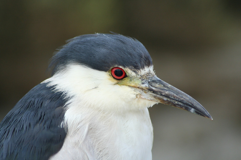 Black-crowned Night Heron Up Close.JPG