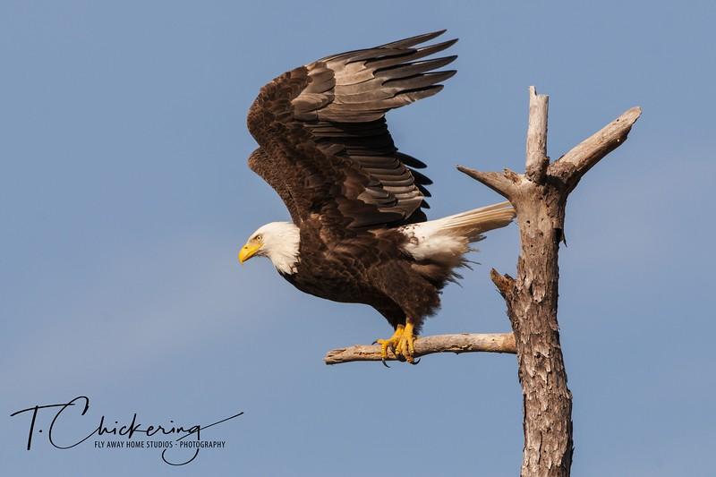Bald Eagle Take Off-1505771381490.jpg