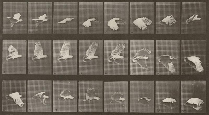 Cockatoo flying (Animal Locomotion, 1887, plate 758)