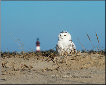 Chincoteague NWR  Snowy Owl, Dec 2013