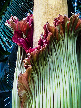 Corpse Flower July 2013