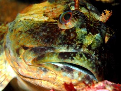 Scorpaenichthys marmoratus (cabazon)