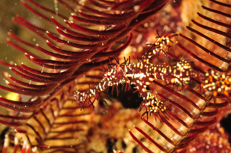 Ornate Pipefish