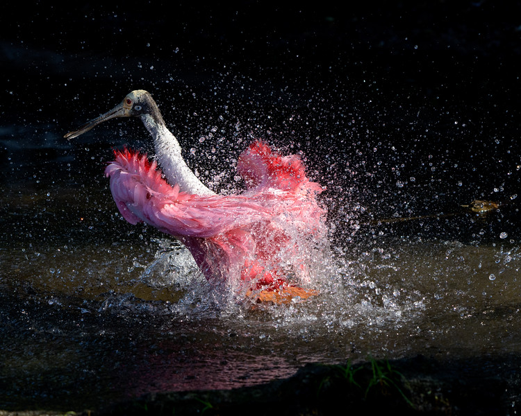 Roseate Spoonbill Bath and Splash
