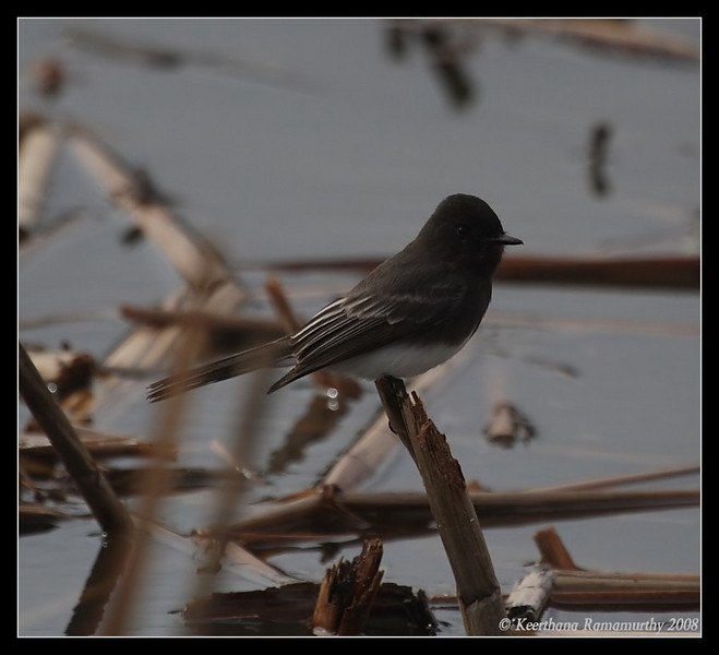 Black Phoebe, Lindo Lake, San Diego County, California, December 2008