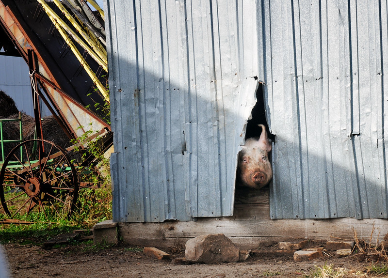 06 PIG ATTEMPTED TO ESCAPE  _8903.jpg
