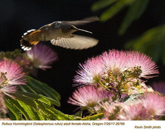 Rufous Hummingbird F26786.jpg