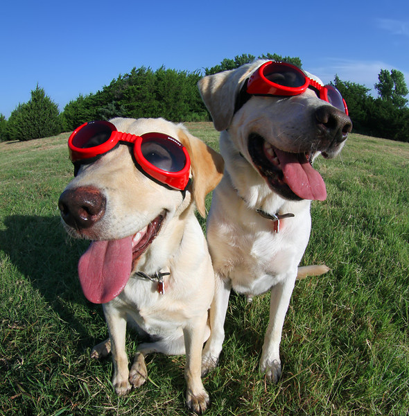 Labs Wearing Doggles2 copy.jpg