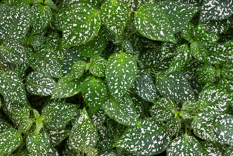 Dotted Leaves