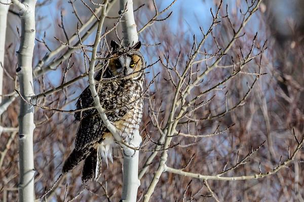 2-26-19 Long-eared Owl