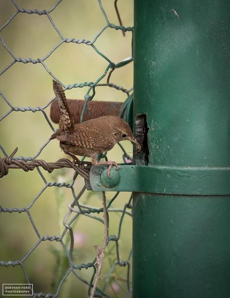 House Wren taking a bug to nestlings