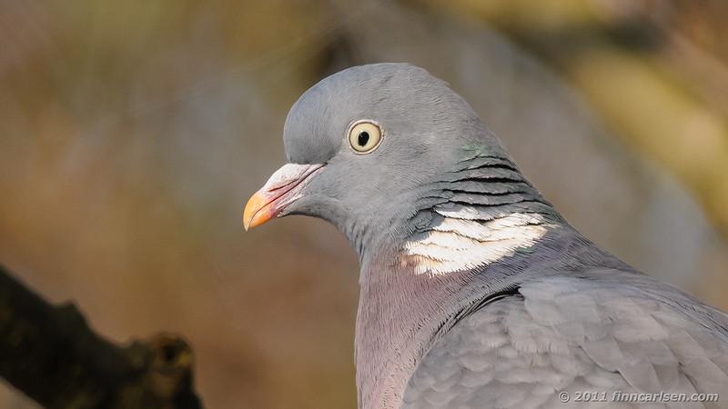 Ringdue - Columba palumbus - Woodpigeon
