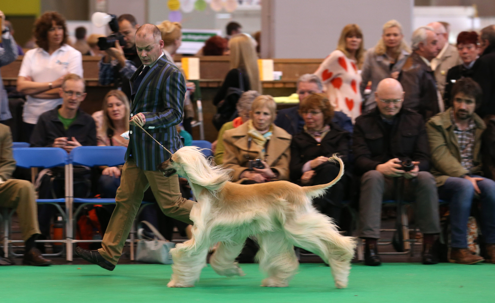 Description of . Afghan hounds are judged in a show ring on the second day of the Crufts dog show at the NEC on March 7, 2014 in Birmingham, England. Said to be the largest show of its kind in the world, the annual four-day event, features thousands of dogs, with competitors traveling from countries across the globe to take part. Crufts, which was first held in 1891 and sees thousands of dogs vie for the coveted title of 'Best in Show'.  (Photo by Matt Cardy/Getty Images)