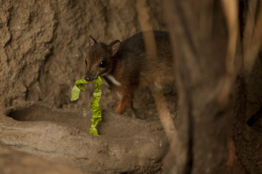 ". A picture taken on April 25, 2014 shows a Java mouse-deer cub, one of the world\'s smallest hoofed animals, at the Fuengirola Biopark, near Malaga. The latest specimen of the world\'s tiniest deer -- a rare species no bigger than a hamster -- has been born in a nature park in southern Spain, conservationists said today. The baby ""deer-mouse\"" became just the 43rd living member of this species in Europe when it was born on April 9.  Jorge Guerrero/AFP/Getty Images"