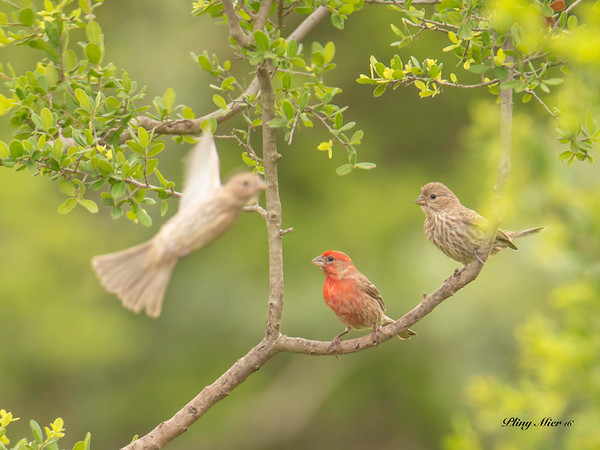 Finches x 3.jpg