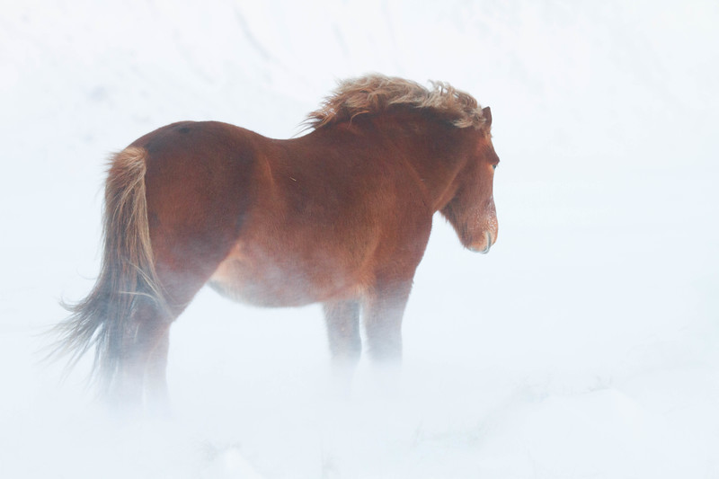 Icelandic horse in snowstorm, Iceland