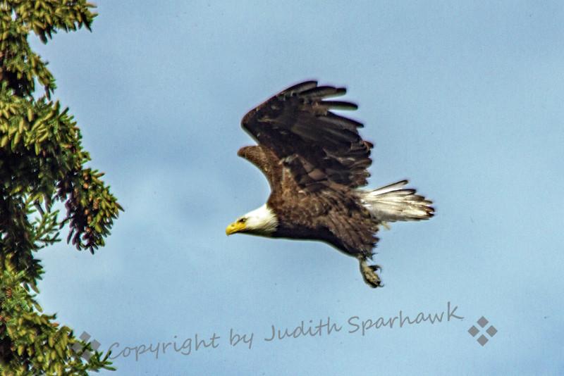 Flying Eagle-001.jpg