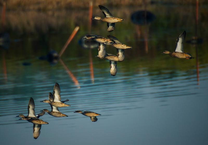 9.16.17 - Beaver Lake Nursery: Blue-winged Teal