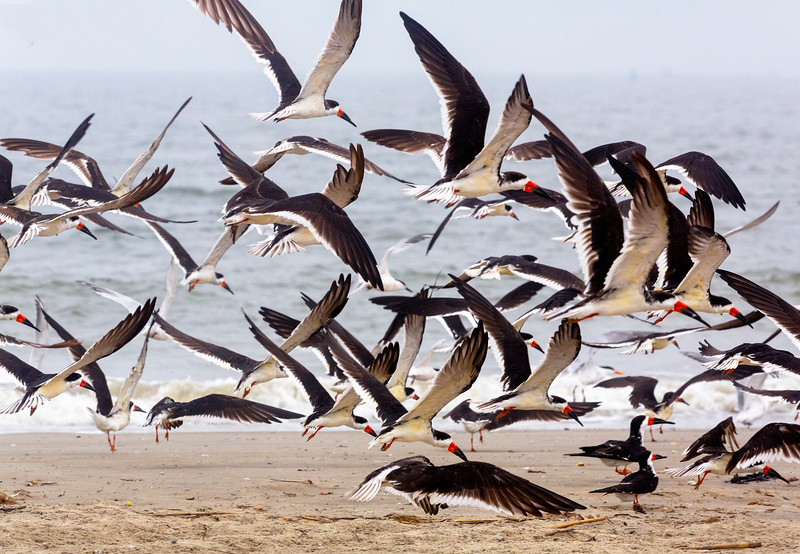 The flock of Black Skimmers takes off ...