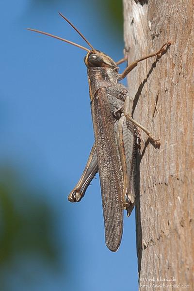 Grasshopper - CA, USA