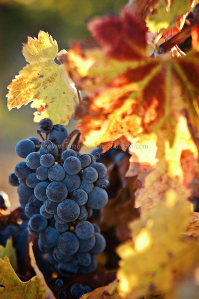Auburn Wine Trail