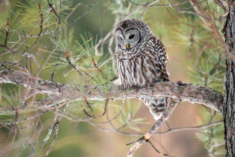 Barred Owl hunting Yellow-bellied Bog Peary Road Sax-Zim Bog MN IMG_0234.jpg