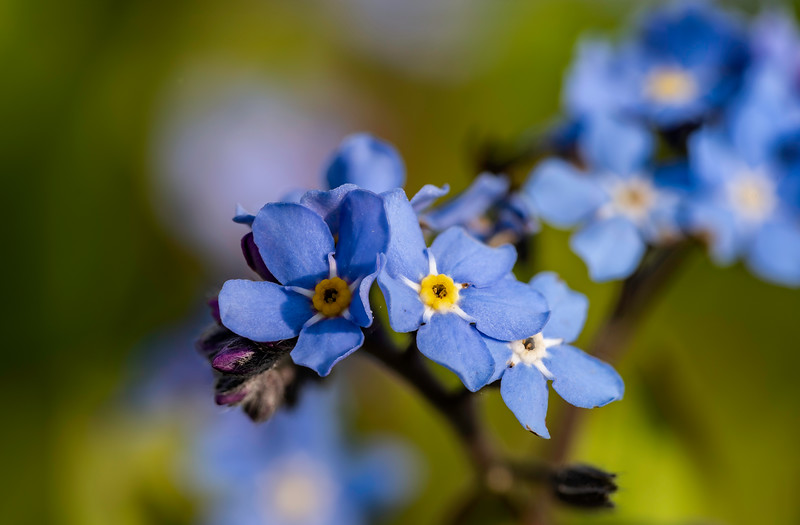 Forget Me Not_ps.jpg