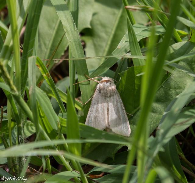 milkweed tussock 090415.jpg