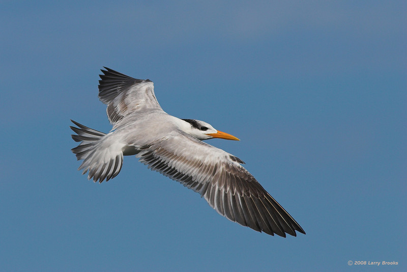 Royal Tern in flight at Jetty Park (Port Canaveral)