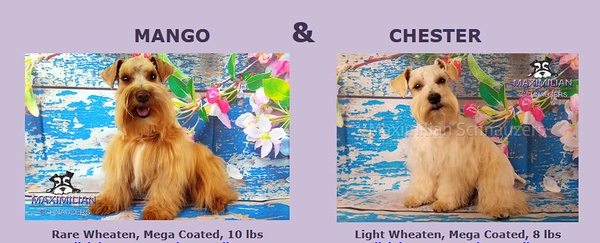 Mango & Chester Pups, DOB 6/10/2021