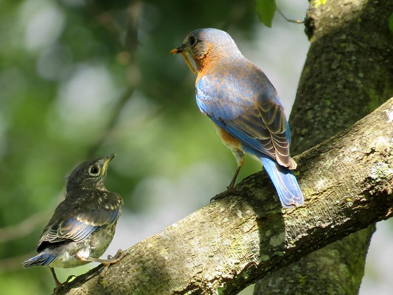sx50_bluebird_fledge 5_17 816.jpg